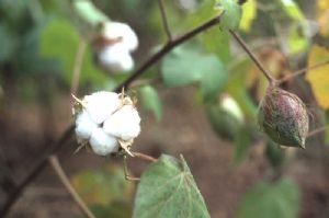 Coopération agricole Sud-Sud: L'expertise brésilienne séduit progressivement en Afrique autour du coton…