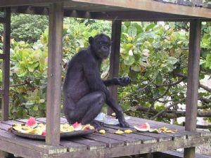Gambie : Les responsables de la faune appelle à la protection des chimpanzés