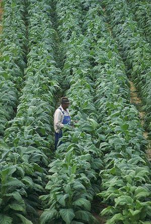 Zimbabwe : Une amélioration de la qualité du tabac attire des prix élevés