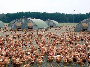 La grippe aviaire de nouveau signalée au Togo